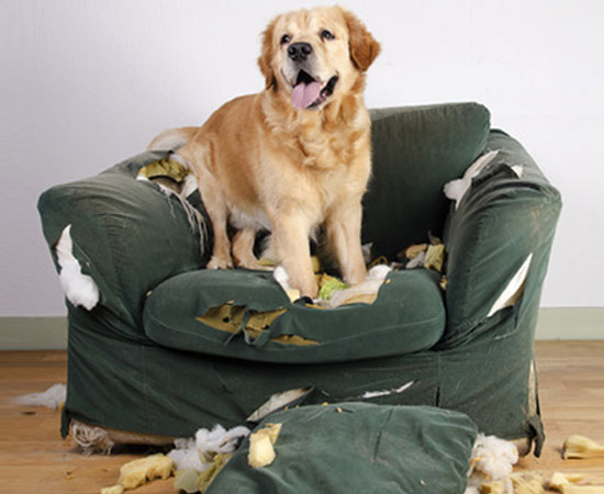 Hund sitzt auf zerstörtem Sofa - hoffenlich ist er gut versichert!