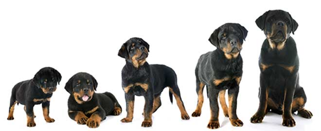 Wachstum Hunde