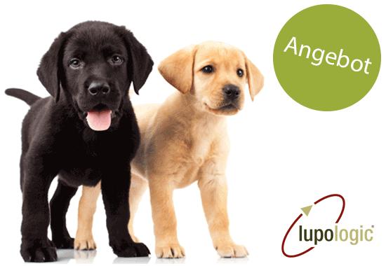 Zwei Labrador Welpen suchen einen Welpen-Wurf